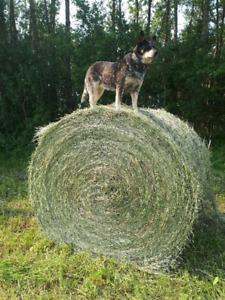 1st Cut Hay Bales - Thorhild Alberta