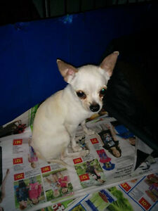 chihuahua     and  pincher    for sale   2males    and  1female