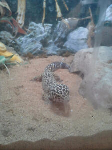 Full grown male Leopard Gecko and enclosure