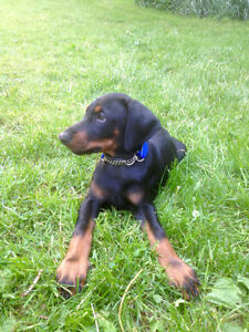 Beautiful Natural Doberman Puppies & Young Adults ~ Ready To Go