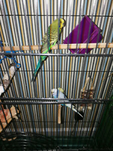 Three budgies with a large case