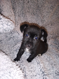 llasa apso x miniature long haired jack russell puppies (llasa-jack)