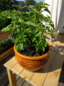 Bountiful, healthy basil plants in ceramic pots for sale!