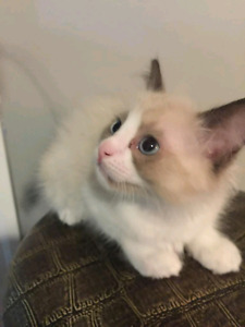 Only 4 Pure Ragdoll Kittens!
