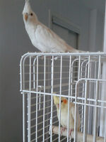 Two Beautiful Baby Cockatiels-One Albino and One Lutino