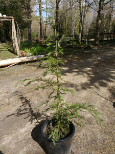 4FT HEMLOCK TREES FOR SALE..HURRY SELLING QUICK!