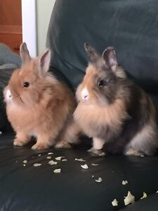 Two lion head bunnies free to a good home