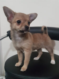 Papillon Puppy Adopt Dogs Puppies Locally In Ontario Kijiji