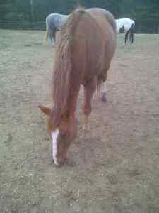 APHA gelding for part lease