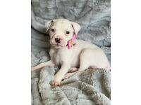 Mastiff x staffy puppies