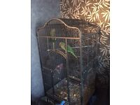 2 Alexandrian parakeets parrots and cage