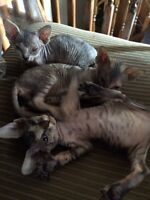 2 Females and 1 male Shpynx kittens ONLY 3 LEFT!!!