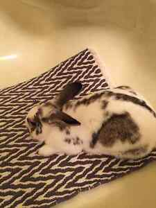 Found Male Rabbit - Mostly White with Brown and Black London Ontario image 1