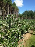 Pick Your Own Organic Blueberries