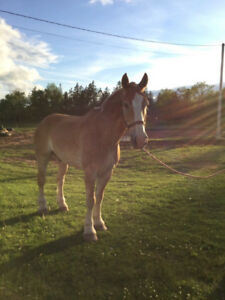 Belgian Gelding 18hh laying ducks and hens org feed