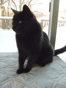 Lost Grey Cat from Birch Acres Drive near Honey Harbour