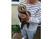 1year old Male Ferret with hutch