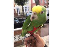 Beautiful double yellow head Amazon parrot