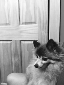 UPDATE: FOUND!! Missing Pomerinean Dog Lawerencetown Beach Area
