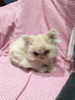Two 8 weeks Purebred Persian boys