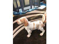 Bracco Italiano puppies for sale male & female
