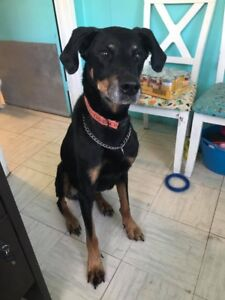 Doberman up for Adoption by Rescue