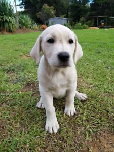 Puppies Maremma Cross