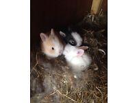 Minature Lionhead baby rabbits