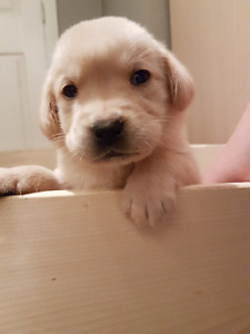 Yellow Lab mix puppy (Female) for new home