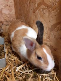 Netherland dwarf x rabbit