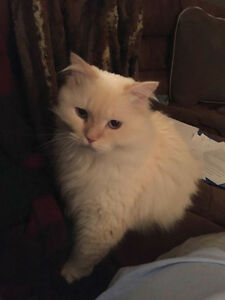 2 Himalayan cats aged 2 and 4 years