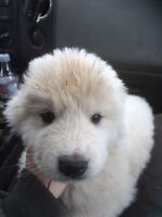 Pyrenese puppies for sale