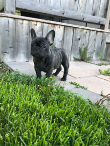 Quality CKC Registered French Bulldog Puppies