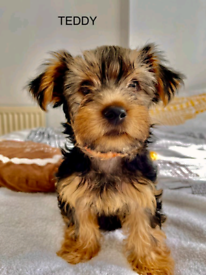 YORKSHIRE TERRIER FOR SALE!!!