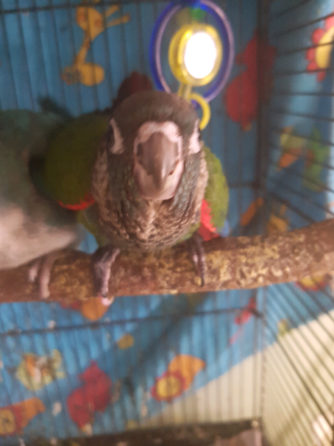 Pearly conure for sale  | Birds | Gumtree Australia Playford Area