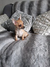 Handsome Chihuahua.