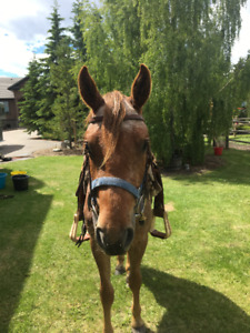Two Year Old Appaloosa Gelding- Lightly Started