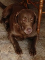 Purebred Labrador Retrievers - looking for family homes