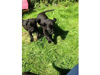 Black lab puppy's