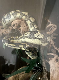 Carpet python and full set up