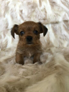 Sweet Morkie Puppies Available