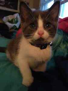 Selling 2.5 month old kitten