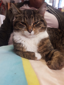 FOUND Tabby Cat with white neck,belly, toes