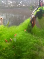 Fire red cherry shrimp for sale!!