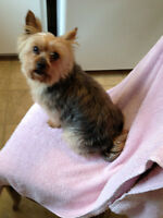 Wanted Female Dog Friend for My 10 year old FemaleYorkie