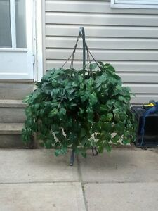 2 hanging plants Kitchener / Waterloo Kitchener Area image 2