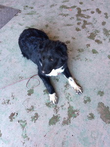 Border Collie /Hanging Tree pup for sale