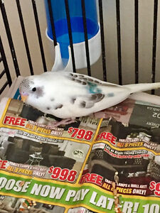 Budgies for sale and deliver for you free