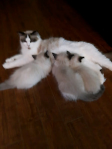 Ragdoll Munchkins  ( NEW PRICE,  READY TO GO )