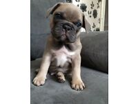 KC reg blue sable male triple carrier French bulldog